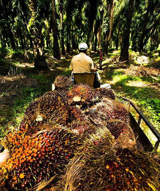 The Environmental Cost of Palm Oil